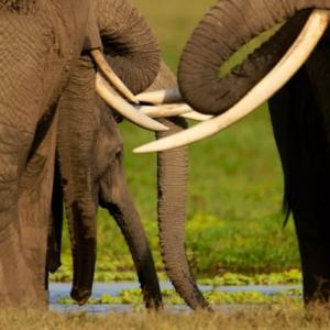 アフリカゾウ/ケニア・ナミビア