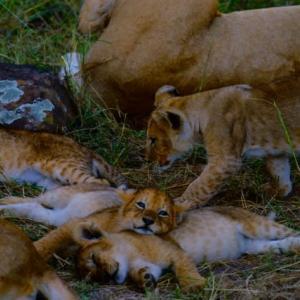 子ライオンたち/ケニア ・マサイマラ