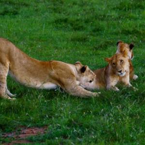 ライオンの兄弟/ケニア (ライオンはこんなに優しい表情をする)