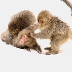 スノーモンキー 子猿たち/長野山ノ内町地獄谷