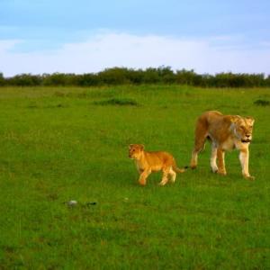 ライオンの親子・ケニア/可愛いいに寄ってみるシリーズ