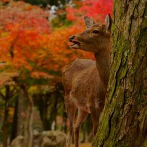 ニホンジカ/奈良公園 2