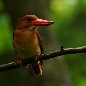 密林的精霊、雨ごい鳥、アカショウビン