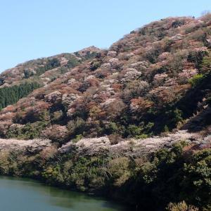 桜満開!!・諭鶴羽(ゆづるは)ダム(淡路島)