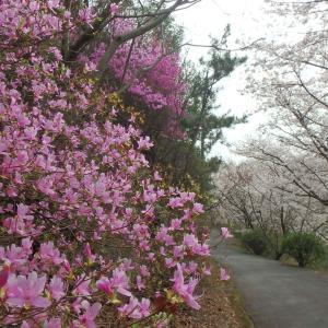 瀬戸内海に浮かぶレモンの島で桜ハイキング(*^。^*)