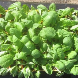 ハクサイの苗の植付け。