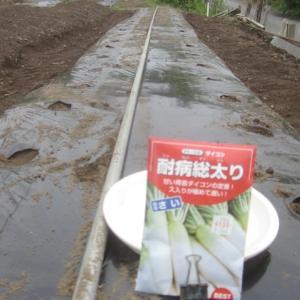ダイコンの種蒔き