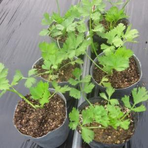 セロリーの苗を植えつけました。