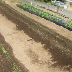 葉物野菜の発芽