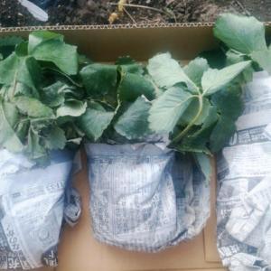 イチゴ30株 追加植えしました。