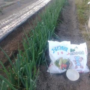 再び岩津ネギに追肥・土寄せをしました。