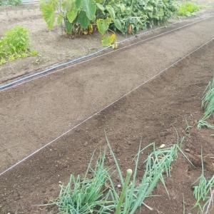 タマネギの畝を仕上げました。