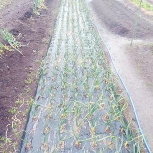 小雨の中の畑