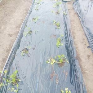 セロリを植え付けました。