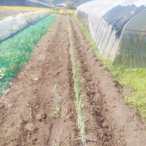 根深ネギの追肥・土寄せしました。