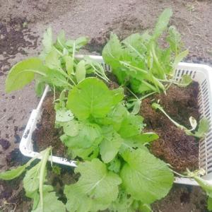 高菜の移植