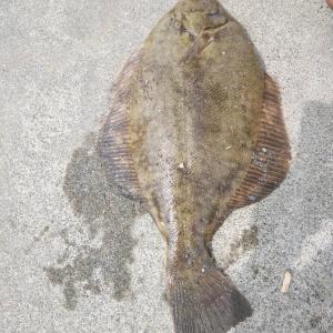 マコガレイ49.5cm