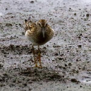 旅鳥の珍鳥アメリカンウズラシギ