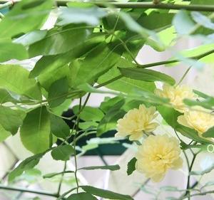【 モッコウバラは、ちらほら咲き 】