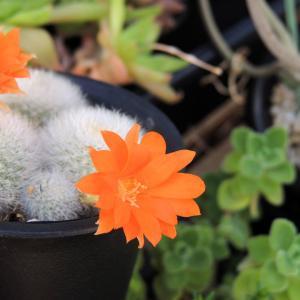 梅雨の合間のタニク花