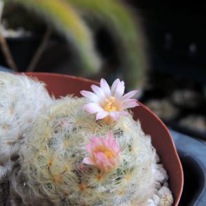 白星の開花が始まりました