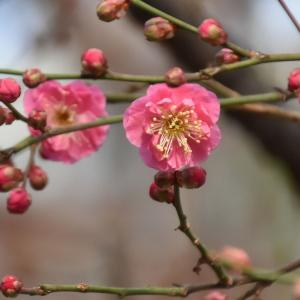 紅梅が咲き始めたセリオンから秋田港駅、土崎駅へ