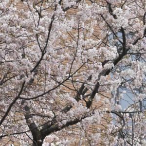 市立病院の満開の桜、外旭川病院横 開花間近の桜