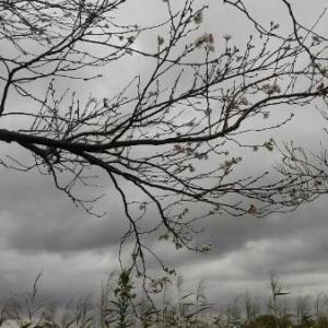 十月桜が咲きました