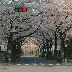 久々のブログ。。。桜巡り!