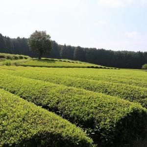茶畑に富士山が生える絶景のスポット、しかし富士山見えず