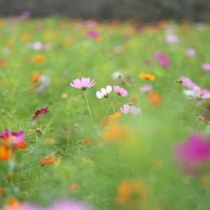 みつばちの動きと風で揺れるコスモスの花に翻弄される