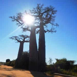 ※動画アリ♪マダガスカル03「バオバブの木1」