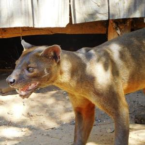 マダガスカル編8「マダガスカルの肉食獣フォッサ」&先週のお話の続き