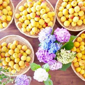 【レシピ】黄熟梅で甘酸っぱいジャム♡(梅ジャムの作り方)