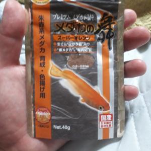 破格の覇王‼️紅帝メダカ1.5cm10匹1000円