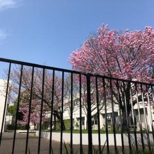 学校の満開の桜が淋しい