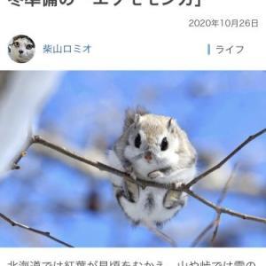 北海道のエゾモモンガさんの冬越し
