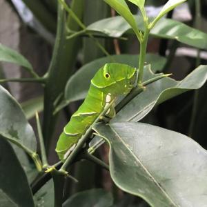アゲハ蝶幼虫の大冒険