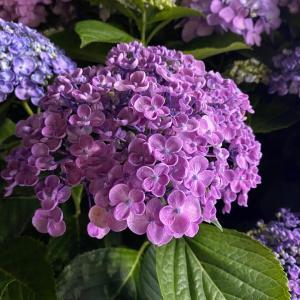 紫陽花とオーガニックコットン