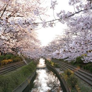 24日に見た桜