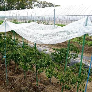 畑に5時間と長く作業を、霜から菊菜と伏見甘長トウガラシを守るため!