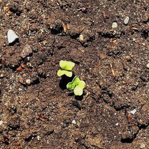 3日目に発芽!早いのでびっくり大根、大葉紫蘇花ミツに熊蜂などが・・