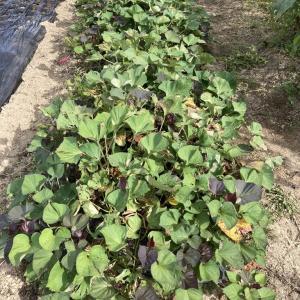 貸し農園の家庭菜園の記録 安納芋(サツマイモ)の収穫の記録