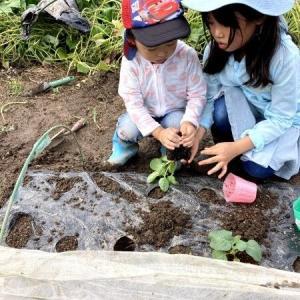 2021/9/4 ブロッコリーと芽キャベツの苗購入。植え付け
