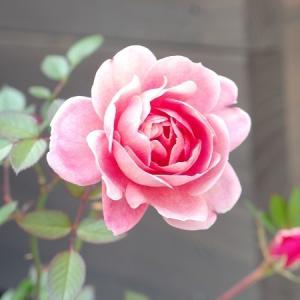 花よりシーバ