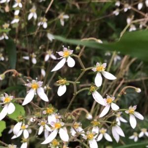 『ユキノシタ』ひっそりと咲く、妖精のティアラの様な花…