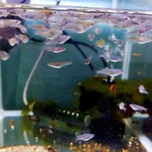 加温飼育とエメラルドフィン