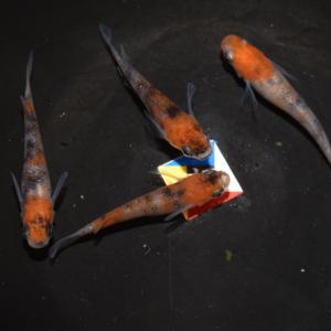 紅朱羅と三色の採卵時期
