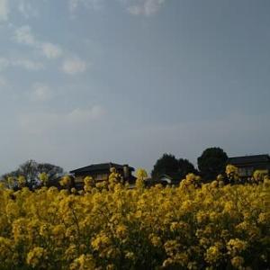 菜の花とウグイス