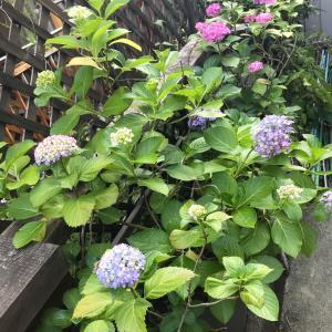 紫陽花が綺麗に咲いていました❁